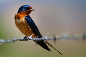 Bryce Bradford, Barn Swallow (CC BY-NC-ND_2.0)