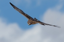 Photograph courtesy of Dana Bove: Harrier Hawk